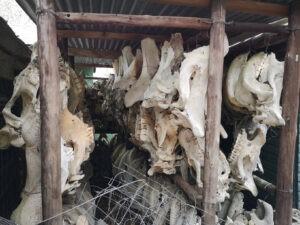 rhino skull graveyard