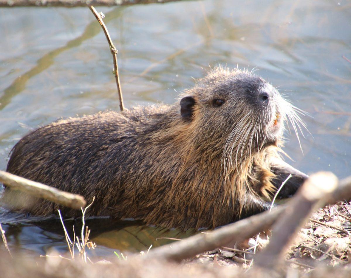 beaver-4814029_1280
